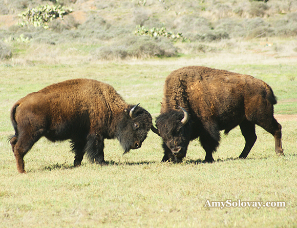 A pair of bison sparring in Two Harbors, California. If you happen to run into these guys, keep a safe distance. If you want to see bison, Two Harbors is one of the best places in America to find them.