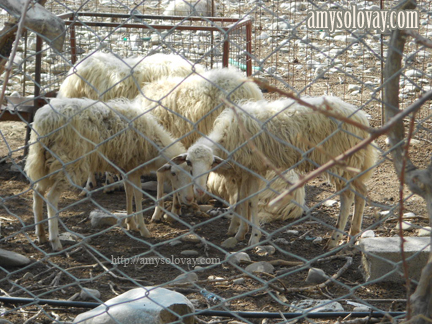 Greek sheep on a farm in Crete