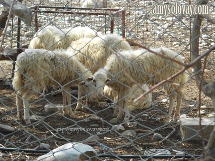 Greek sheep on a farm in Crete